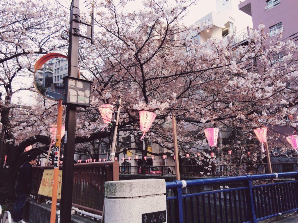 【目黒川】桜開花まであと一歩!
